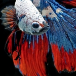 Betta-Fish-Photography-1