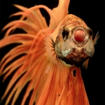 Betta-Fish-Photography-9