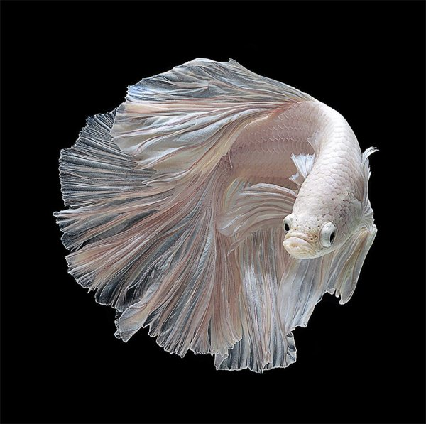 Betta-Fish-Photography-10