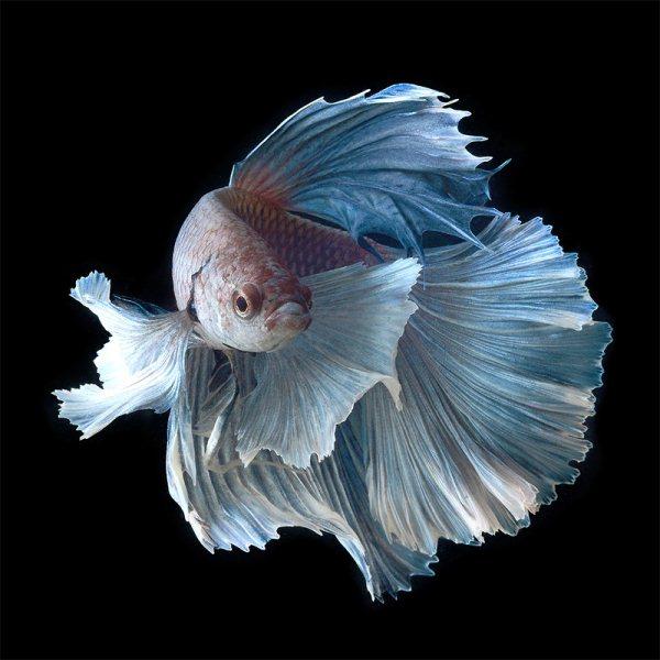 Ipad art room betta fish photography 6 for Pretty betta fish